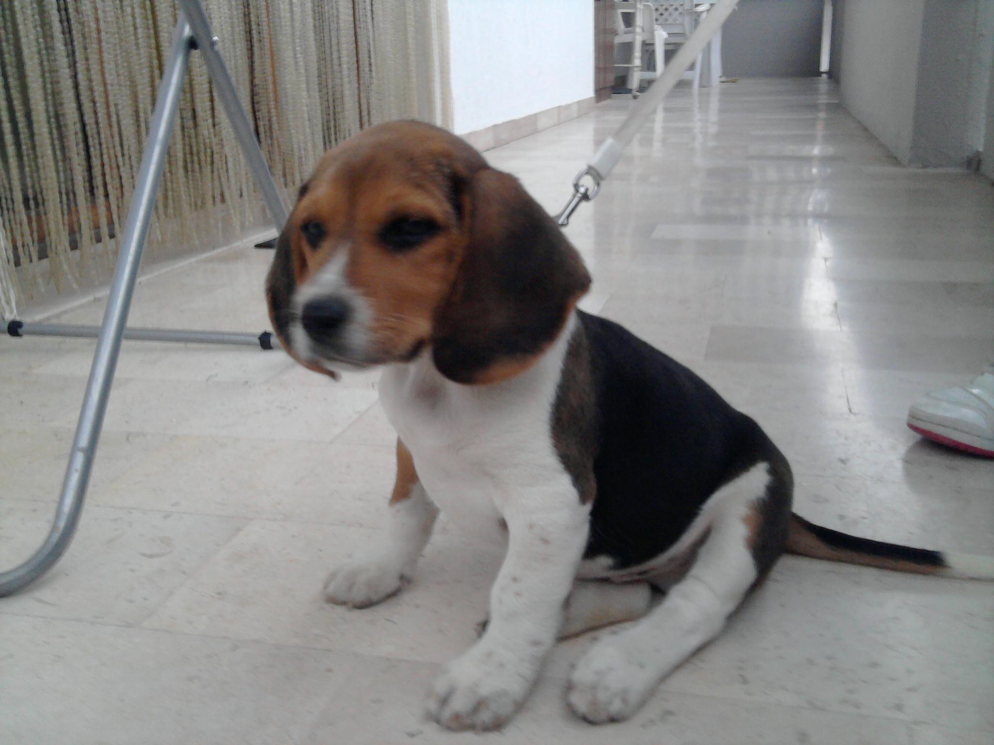Giulianova. Smarrito un cane di razza Beagle nella parte ...