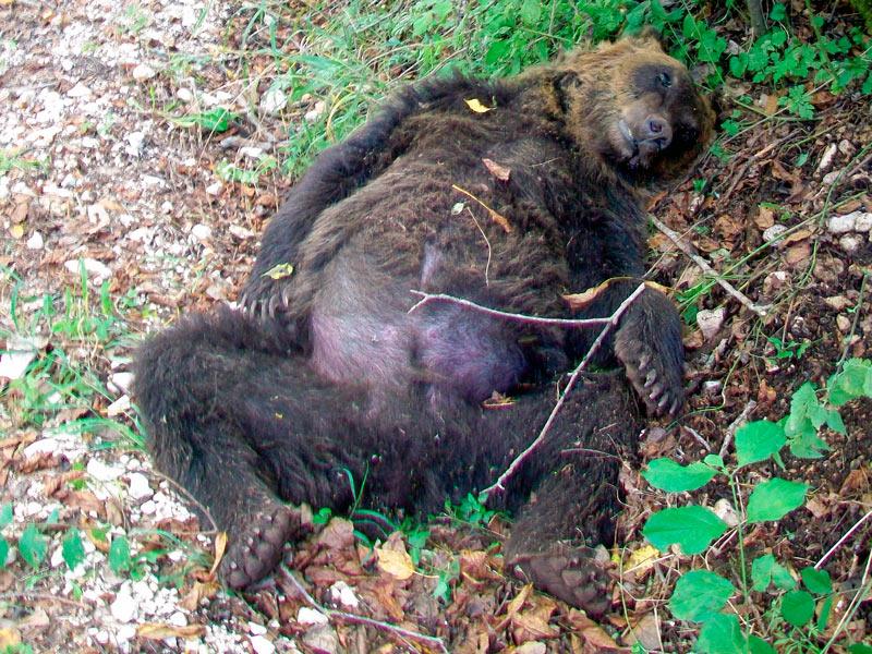 Abruzzo. Assoluzione per l'orso ucciso a Pettorano nel 2014, ma uccidere gli orsi e' reato