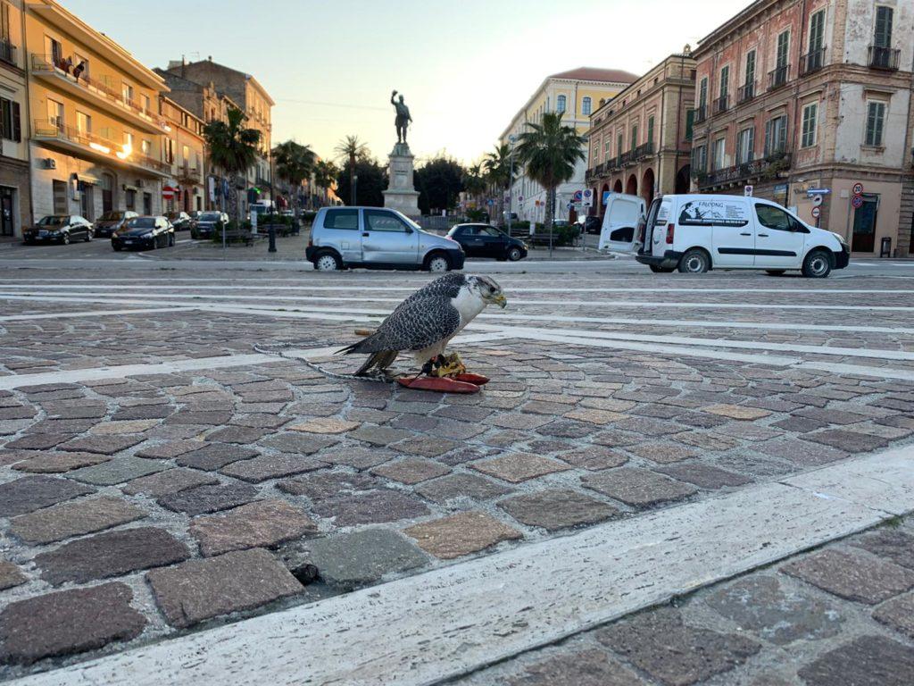Giulianova.  Partono oggi gli interventi di bird control con i rapaci per l'allontanamento dei volatili infestanti dal Centro Storico