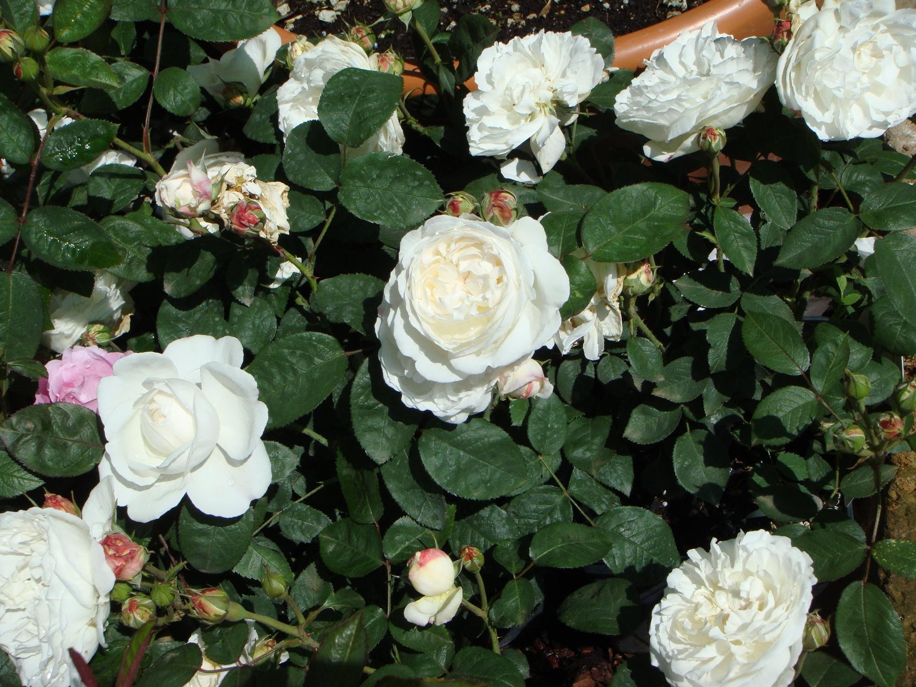 """Rose Da Taglio Rifiorenti abruzzo. fino al 21 maggio ad """"ekk-abruzzo in sintesi"""" c'è"""