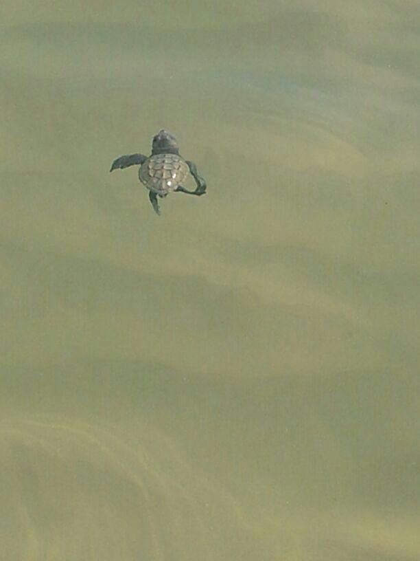 Tartaruga prende il mare